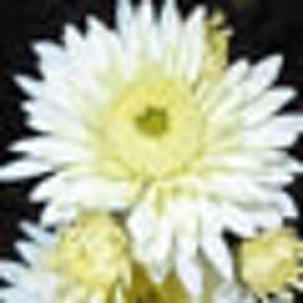 Что нужно узнать о хризантеме прежде, чем поселить её в саду
