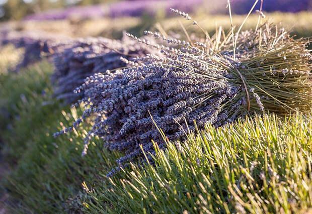 Как выращивают и собирают лаванду
