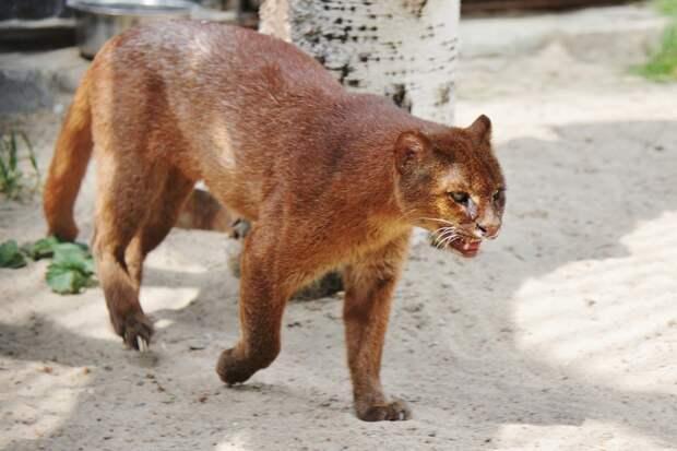 Ягуарунди - кошка, которая умеет чирикать