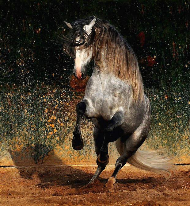 17. Андалузские лошади, рост который составляет 157 – 168 см, элегантные и отлично скроенные. (Wojte