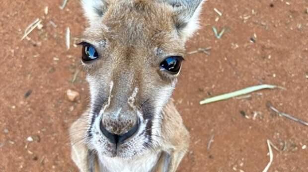 Наплевав на коронавирус, кенгуру проник в дом и нещадно расправился с туалетной бумагой