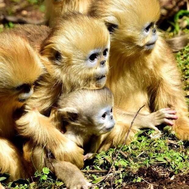 Золотые мартышки