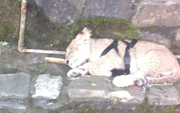 В Геленджике львенка с больным глазом и лапкой использовали для развлечения отдыхающих