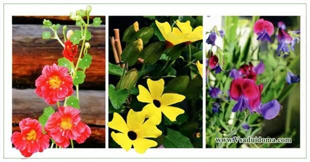 Однолетние лианы и вертикальное озеленение с помощью этих растений