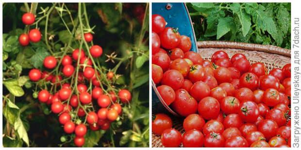 Томат Барбарис. Фото с сайта fermercenter.com. Его плоды крупным планом. Фото с сайта sadovodstvo.in.ua