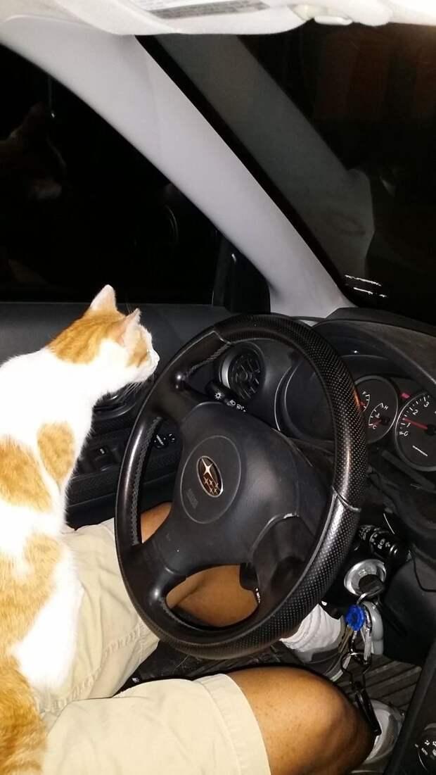Кот запрыгнул в машину и отказывался уходить. Так он выбрал своего хозяина. встреча, гости, дружба, животные, коты, кошки, неожиданно, фото