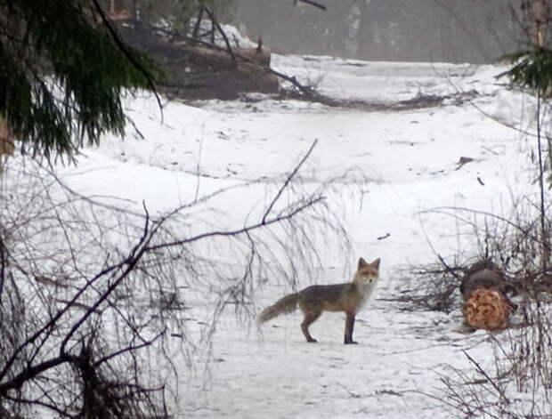 Лиса в Подушкинском лесу