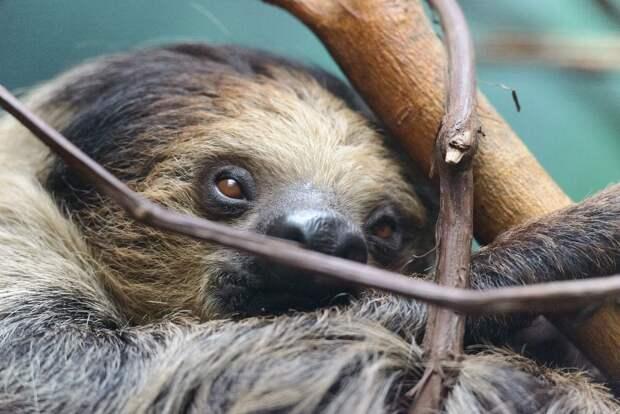 17 удивительных фактов о ленивцах 16