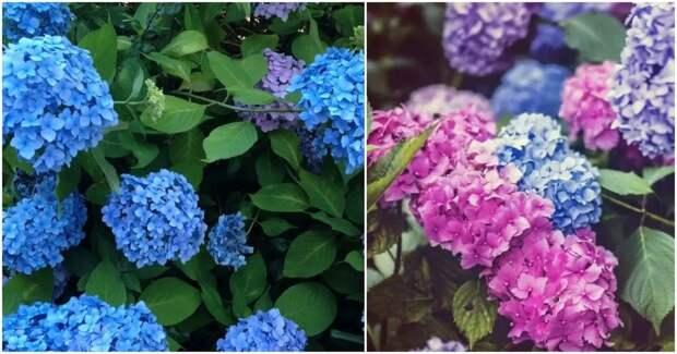 Простой способ изменить цвет вашей гортензии на розовый, синий и фиолетовый