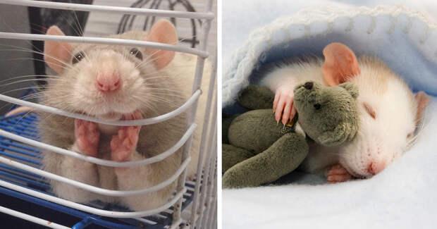 19 доказательств того, что нет никого хуже крыс животные, крыса, милота, позитив