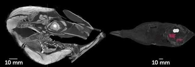 Ихтиологи впервые обнаружили рыбу, которая обитает на глубоководье и вынашивает потомство во рту