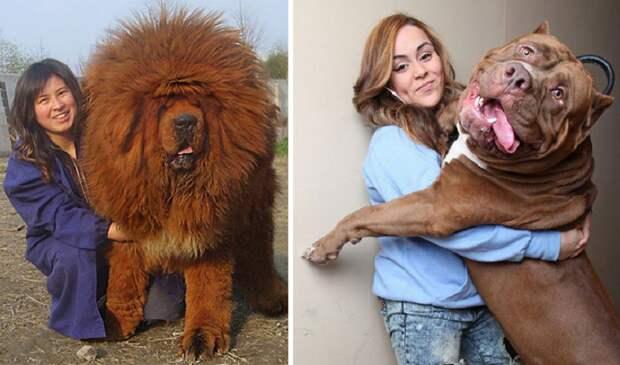 50 собак, которые не осознают, насколько они огромны размер, собака