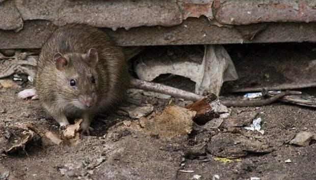 Топ 5 неприятных фактов о крысах