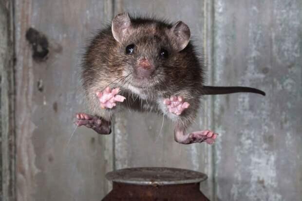 Картинки по запросу крыса прыгает