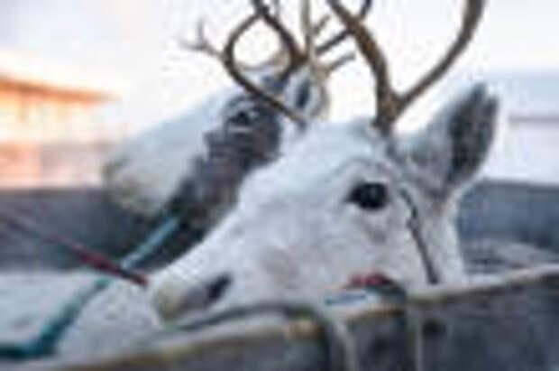 Восемь с половиной тонн оленины отправились за границу
