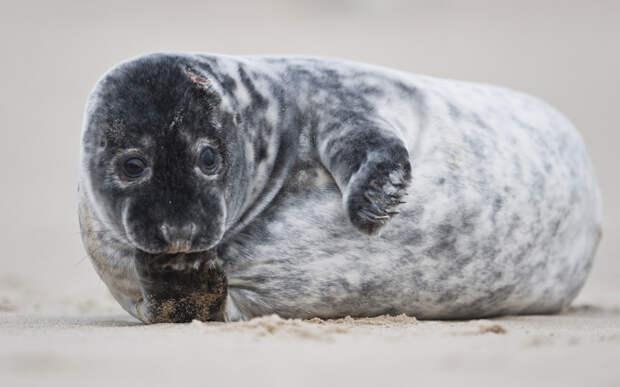 Одномесячный серый тюлень ждет маму