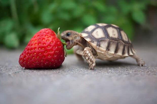 19. Сухопутная черепаха ест клубнику ниндзя, питомцы, черепахи