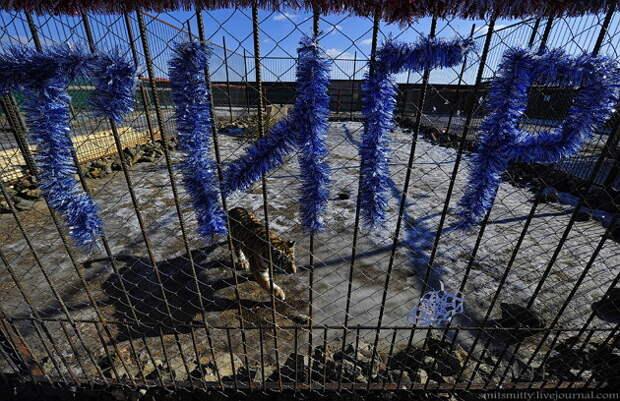 """Тигрица Кристал живет в просторном вольере, за отдельную плату с ней можно сфотографироваться и поиграть.  """"Чудесный"""", Семейный, зоопарк, уссурийск"""
