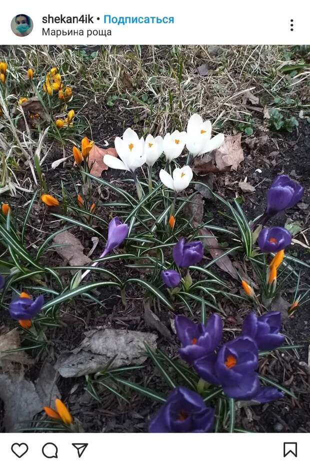 Фото дня: в Марьиной роще расцвели разноцветные крокусы