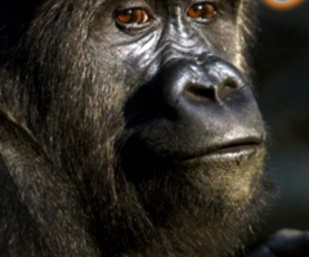 Gillette – лучше для обезьяны нет