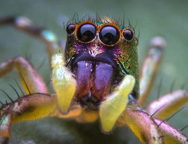В Австралии открыли новые виды пауков-павлинов