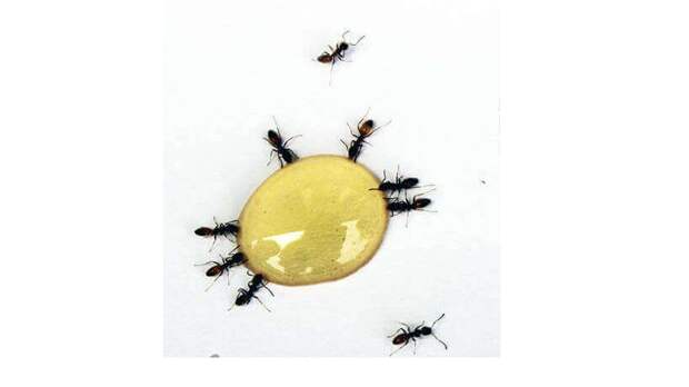 Готовимся к сезону муравьёв, расскажу как с ними бороться.