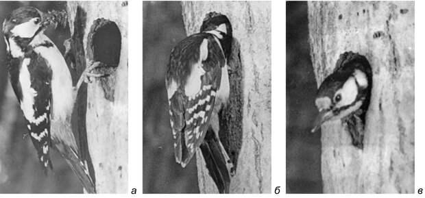 О гнездовых дуплах и эволюции гнездостроения у дятлов Picidae:
