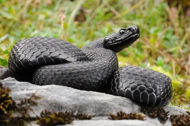 Меланизм возникает в результате наследственных изменений. Если тёмные формы оказываются более жизнеспособными, чем светлые, то они подхватываются естественным отбором. На фото змея-меланист.
