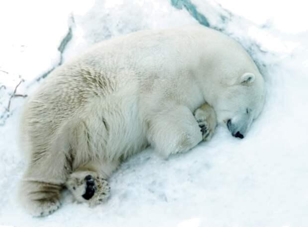 Белый медведь умер из-за брошенной в вольер игрушки