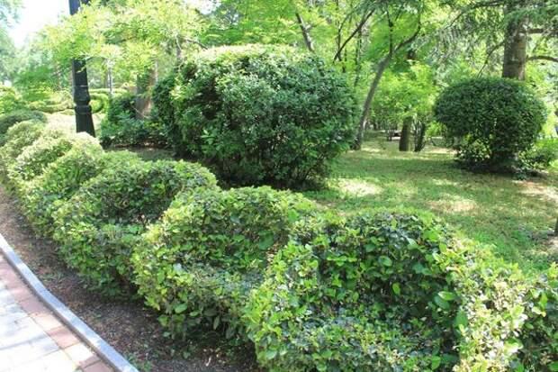 Фигурная живая изгородь из калины вечнозелёной