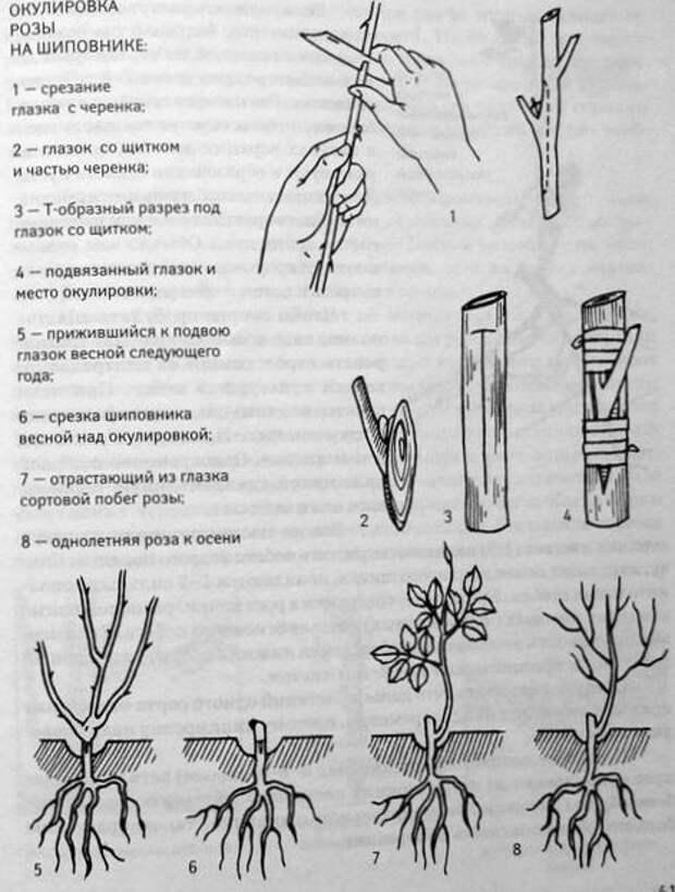 Разные способы размножения роз