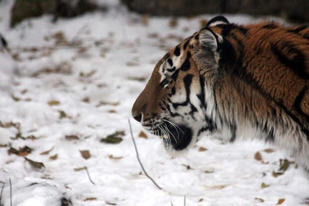 Браконьеры обезглавили редчайшего тигра