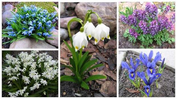 Первоцветы. Без них не обойтись в саду