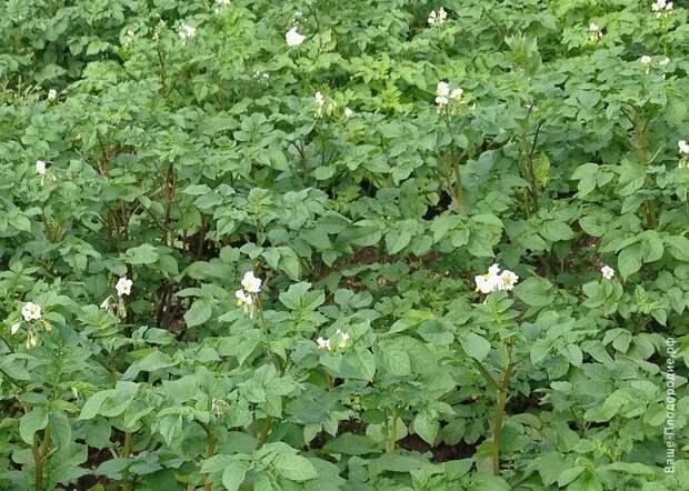 Ускоренное размножение картофеля