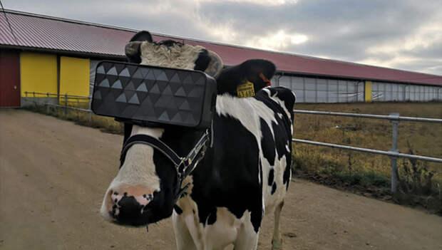 Подмосковным коровам выдали VR-очки. Теперь у них вечное лето