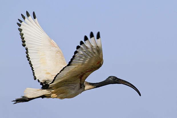 Тайна священных птиц: где египтяне взяли миллионы ибисов для мумификации