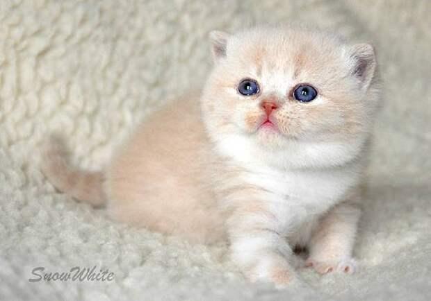 Британский короткошерстный котенок, фото кошки фотография