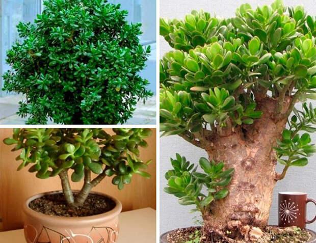 Толстянку можно растить в виде кустарника или дерева