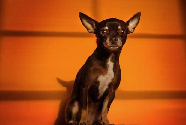 AggressiveDogs02 10 самых агрессивных пород собак