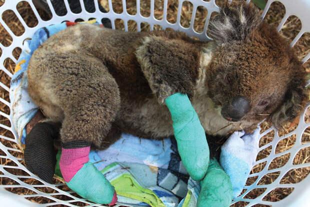 Раненый коала на реабилитации в Парке дикой природы острова Кенгуру (Kangaroo Island Wildlife Park) — один из бесчисленного множества животных, пострадавших или погибших во время лесных пожаров, которые в этом году бушевали по всей Австралии.