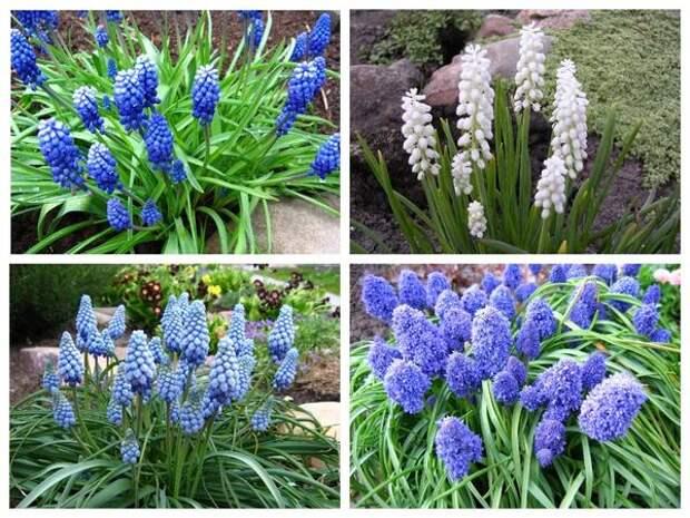 Мускари разных сортов тоже цветут в саду в числе первых