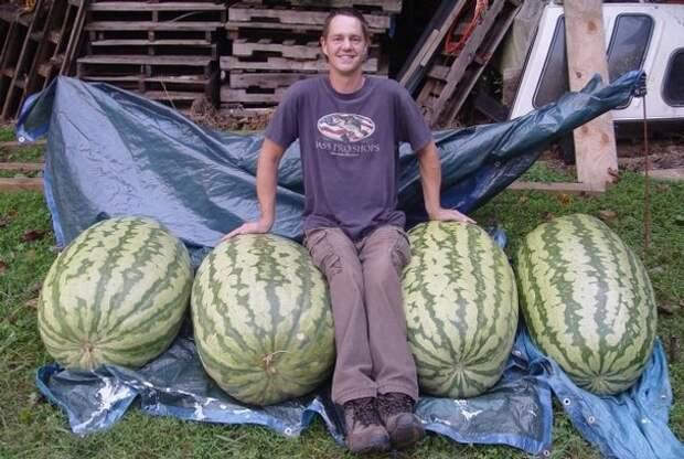Когда на рынке попросил арбуз покрупнее. огород, самые большие овощи, урожай