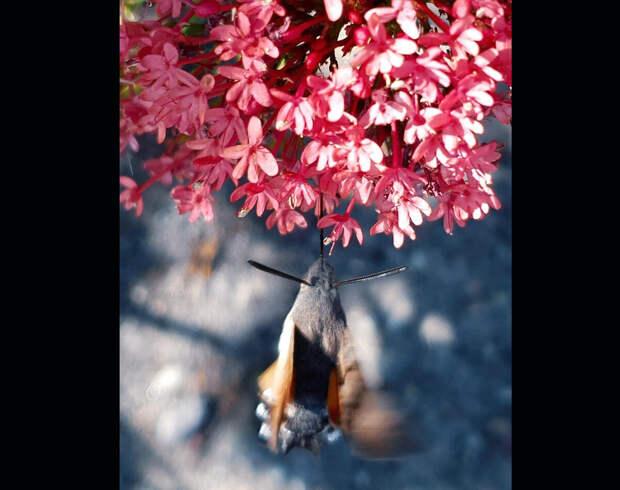 Во время миграции языкан совершает перелёты на тысячи километров. Так бабочка, рождённая в Центральной Европе, может провести летние каникулы в Скандинавии.