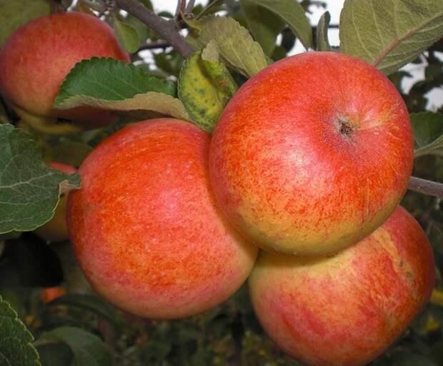 Воздушные отводки: размножение яблонь без прививок