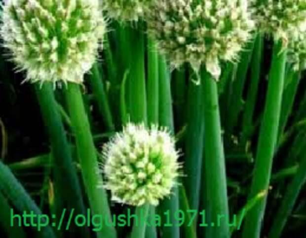 Лук-батун, посадка и уход, выращивание из семян