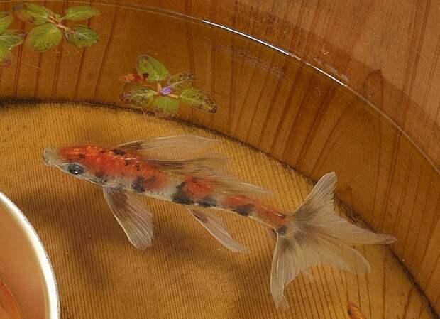 Рисунки золотых рыбок между слоями смолы Riusuke Fukahori