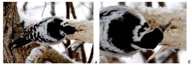Рис. 9. Долбление белоспинным дятлом горизонтального ствола. а – прямой удар клювом, расщепляющий (прорубающий) древесину; б – косой удар клювом, откалывающий древесину. Национальный парк «Себежский», февраль 2014 года. Фото автора.