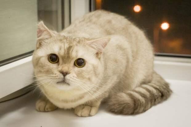 Пятничный кот Лаврентий, милый британец-тюфячок