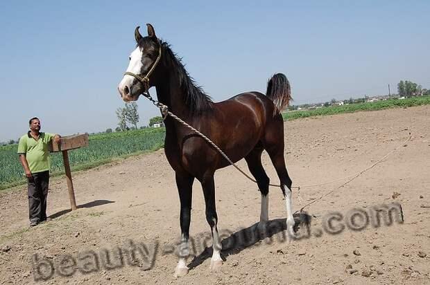 Лошади Марвари (марварская лошадь)