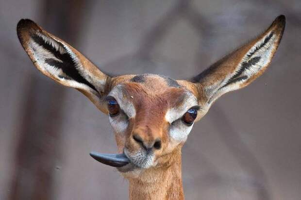 Фотограф снимает выражения лиц исчезающих животных по всему миру